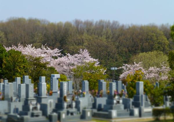 普通墓地とソメイヨシノ